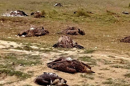 People killed dogs by feeding poison, dozens of vultures died by eating the same dog