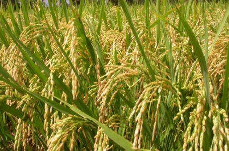 बर्खे धानको किसानले लगानी अनुसारको मूल्य पाएनन्